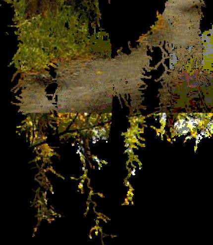 Многолетние лианы  gardeniaru